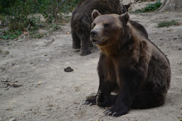 Osos pardos de los cárpatos - Reserva cercana a Brasov