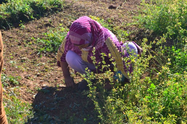 Una mujer local trabajando en las plantaciones de Tinghir