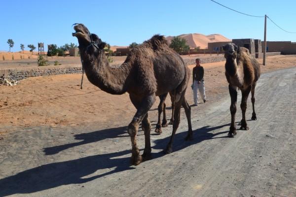 Dromedarios caminan por el pueblo de Merzouga